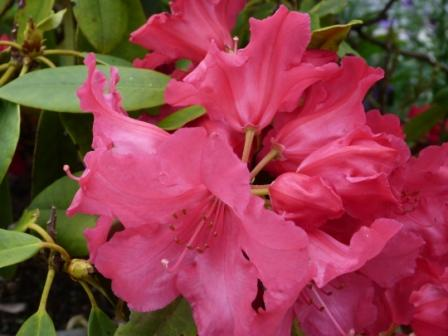Copyright image: Evergreen deep pink rhododendron - an acid loving plant grown in a pot.