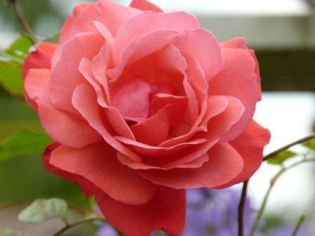 Copyright image: Deep pink climbing rose 'Galway Bay'.
