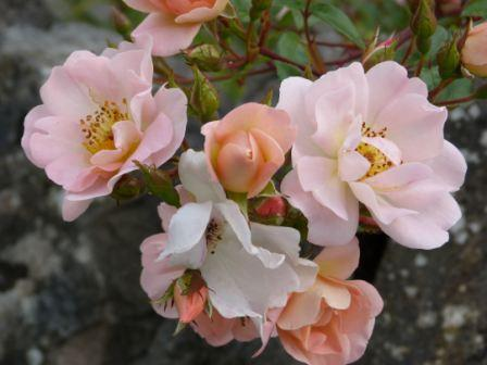 Copyright image: The short rambling rose 'Open Arms'