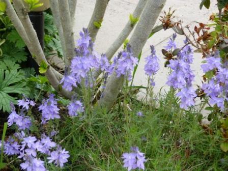 Copyright image:  Pale purple veronica prostrata.