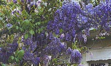Pergola climbing plants: wisteria on a metal pergola.